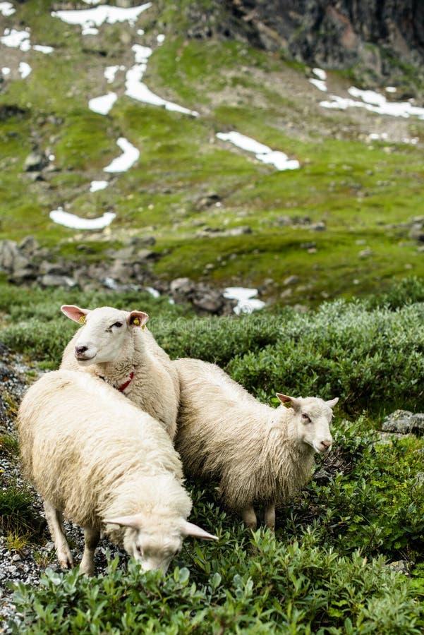 Ewe sheep grazing on pasture in mountain. stock photos