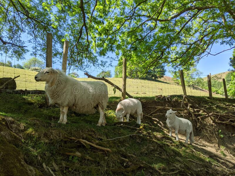 A ewe sheep and 2 lambs standing on a hillside. Bank countryside mountain river bank fence church stretton Shropshire white sheep twins following their mother royalty free stock image