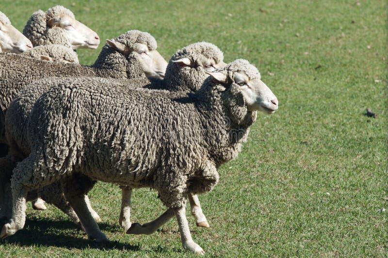 Ewe Sheep. Merino ewe sheep running in the paddock; merino ewes are prized for their super fine wool royalty free stock images