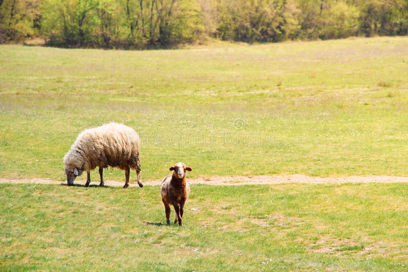 Sheep and single lamb on looking on green grass royalty free stock image