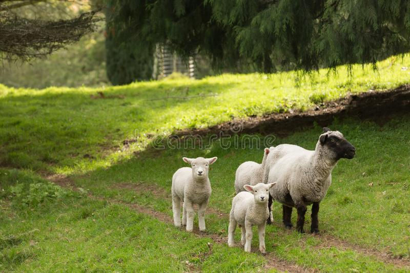 Family of sheep on a farm. A ewe and three lambs royalty free stock image