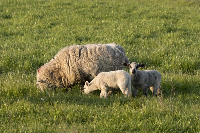 Ewe and Two Lambs. This ewe grazes in a green pasture with two spring lambs. One of them is looking up at the camera stock photography
