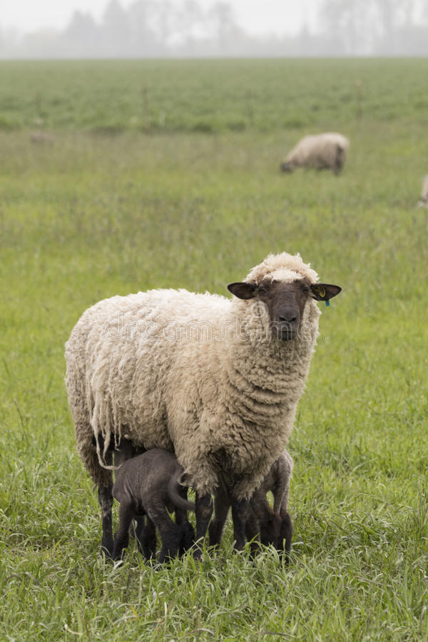 Ewe and Two Lambs. A Suffolk ewe nurses her two small lambs stock photography