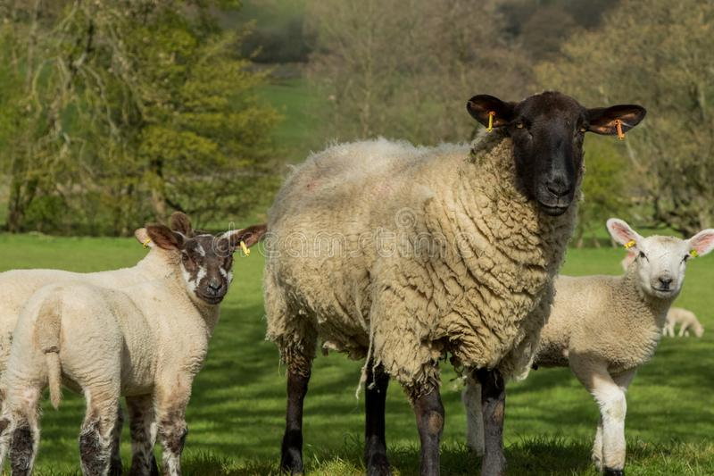 A Ewe with two young Lambs. royalty free stock photos