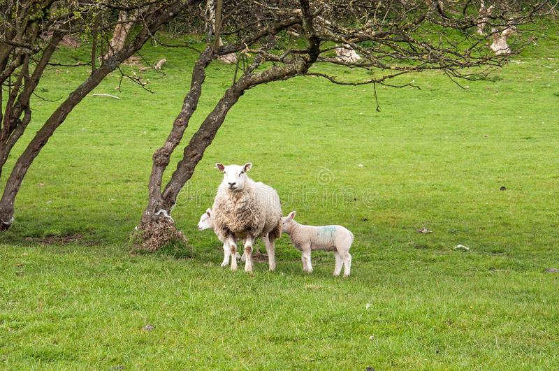 Sheep and young lambs in a springtime meadow in the English countryside. A ewe and young lambs in a meadow in the countryside of the United Kingdom stock photo