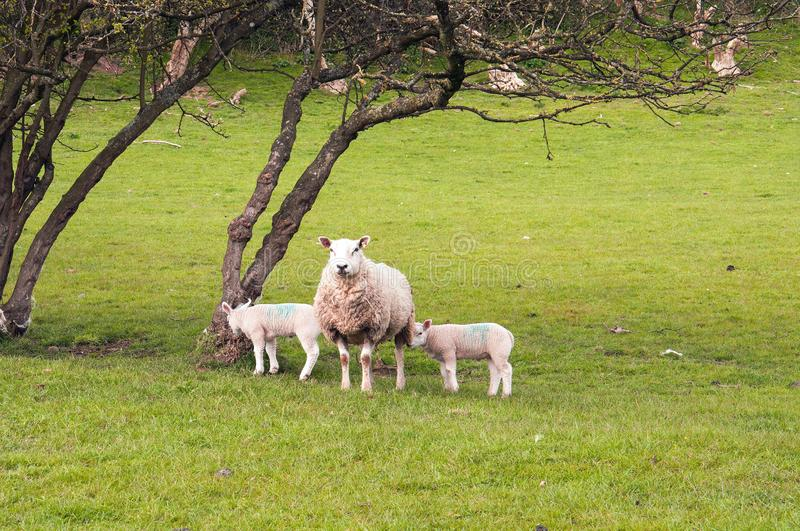 Sheep and young lambs in a springtime meadow in the English countryside. A ewe and young lambs in a meadow in the countryside of the United Kingdom stock photos