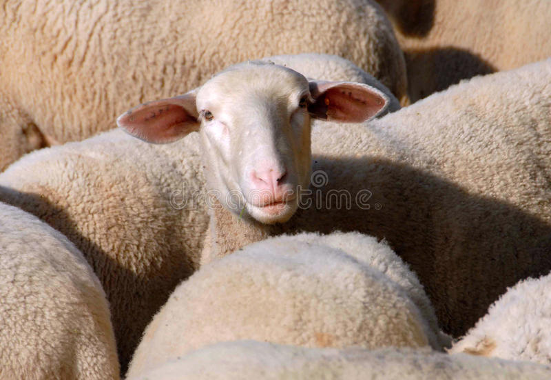 Ewes. An ewe in a herd south of france royalty free stock images