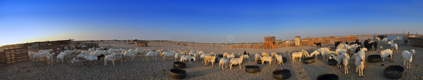 Ewes And goats farm out jeddah stock photo