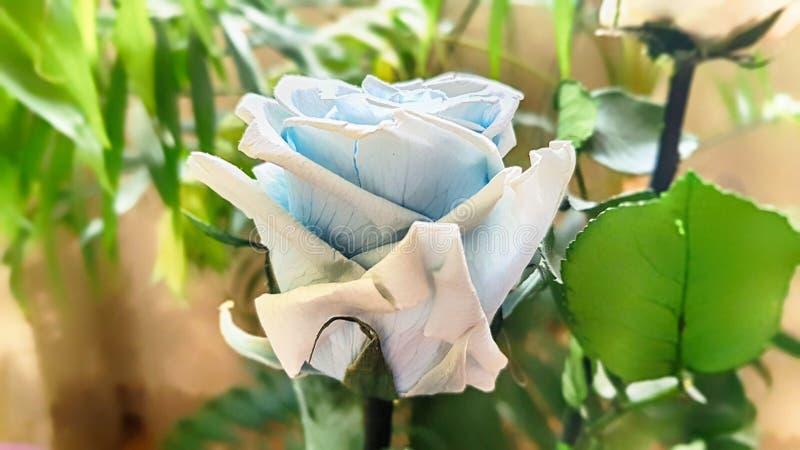Ewige Rose konserviert lizenzfreie stockbilder