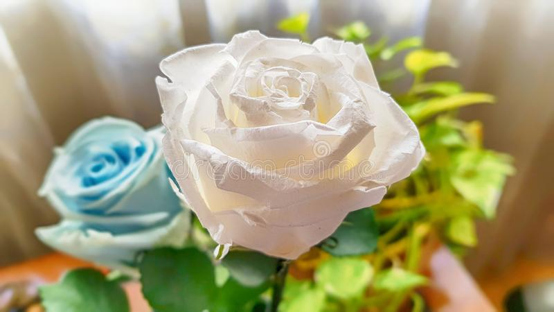 Ewige Rose konserviert stockbild