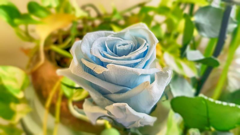 Ewige Rose konserviert stockfotografie