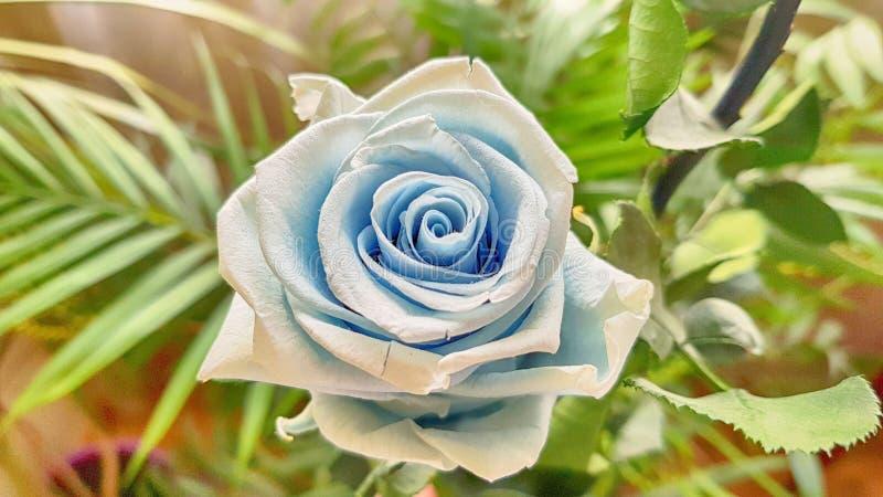 Ewige Rose konserviert stockfotos