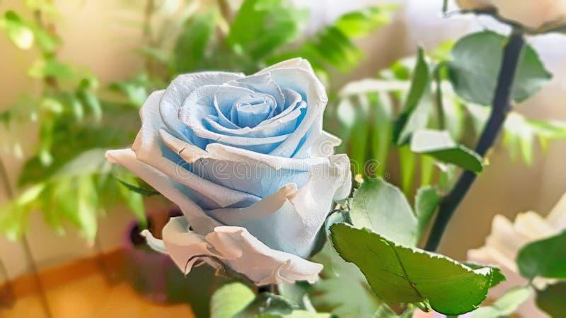 Ewige Rose konserviert lizenzfreie stockfotos