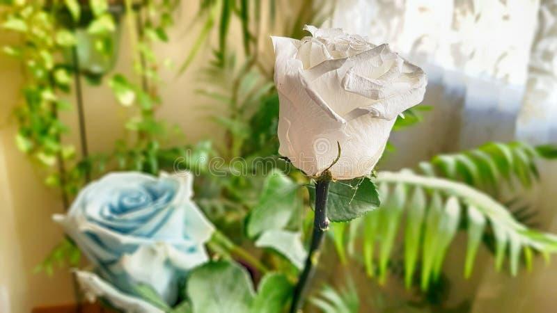 Ewige Rose konserviert lizenzfreies stockbild