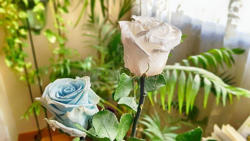 Ewige Rose konserviert stockfoto