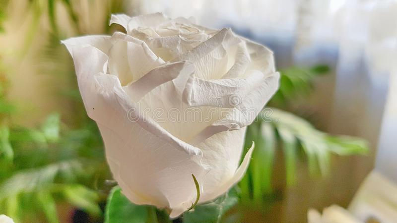 Ewige Rose konserviert lizenzfreies stockfoto