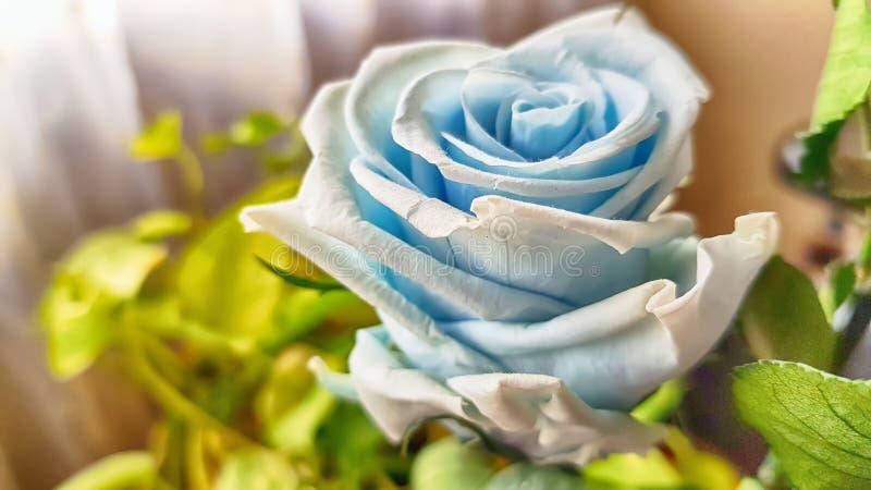 Ewige Rose konserviert lizenzfreie stockfotografie
