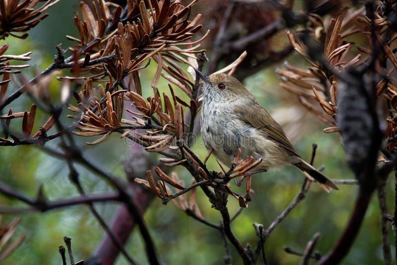 Ewingii tasmanien de Thornbill - d'Acanthiza - le petit oiseau brun a seulement trouvé en Tasmanie et les îles dans Bass Strait,  image libre de droits