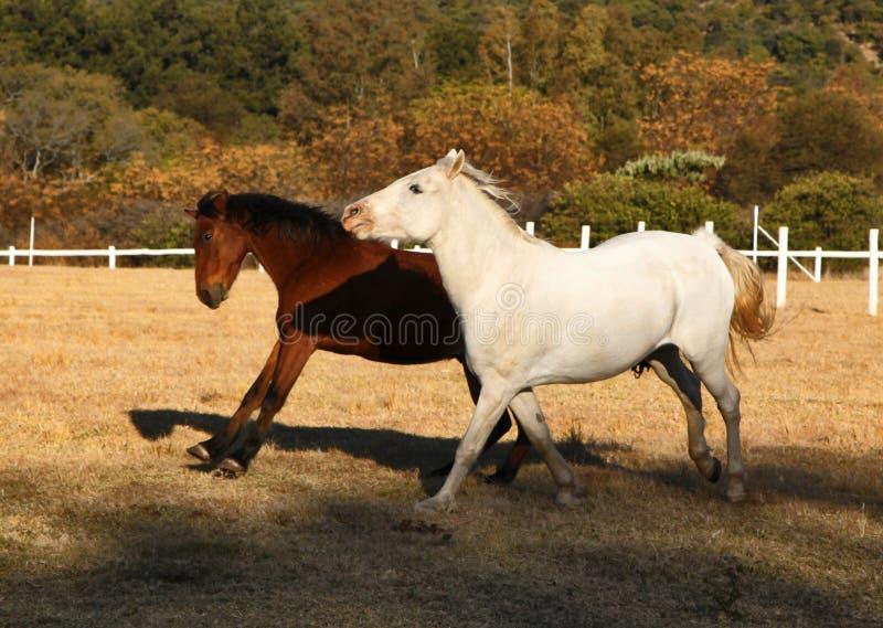 Exécution de deux chevaux photo stock
