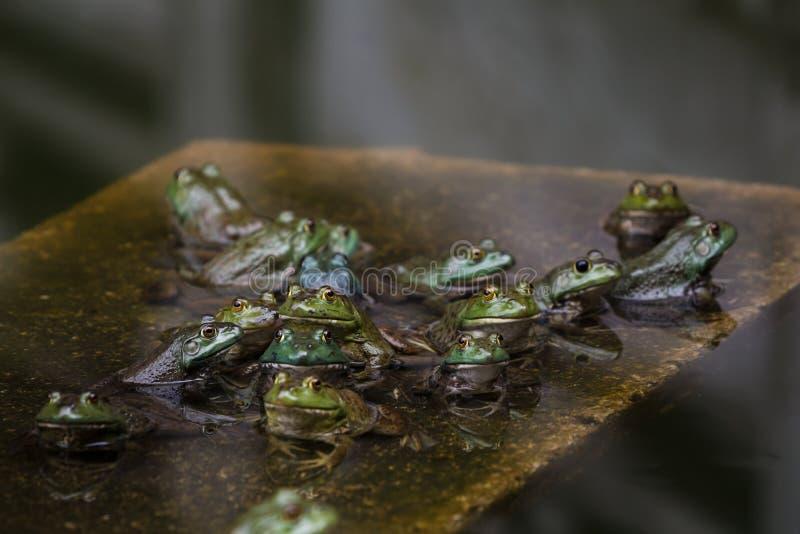Exército das rãs em uma lagoa imagens de stock