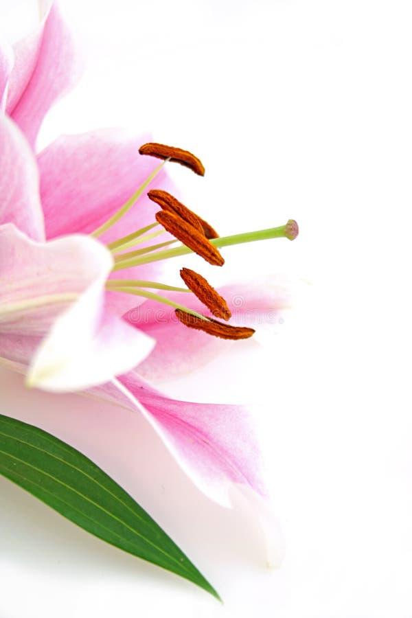 Exótico bonito lilly imagens de stock