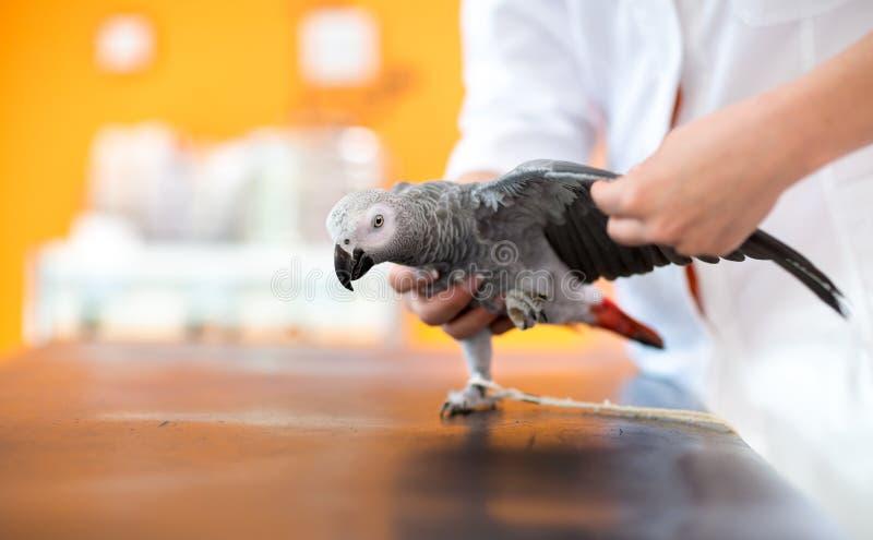 Exame e diagnóstico do papagaio do cinza africano no veterinário infirmar imagens de stock