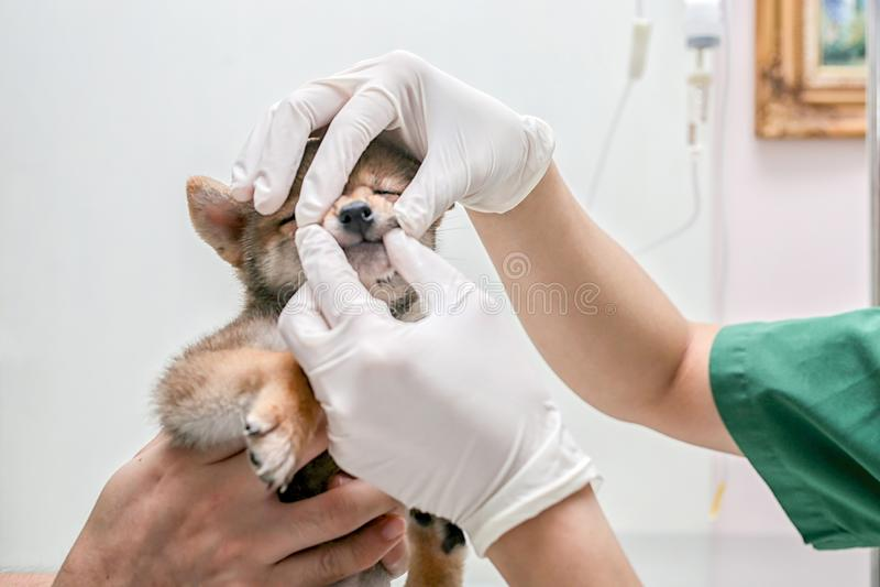 Exame veterin?rio da sa?de do cachorrinho Os doutores est?o examinando os dentes de c?o O doutor veterin?rio est? fazendo uma ver imagem de stock