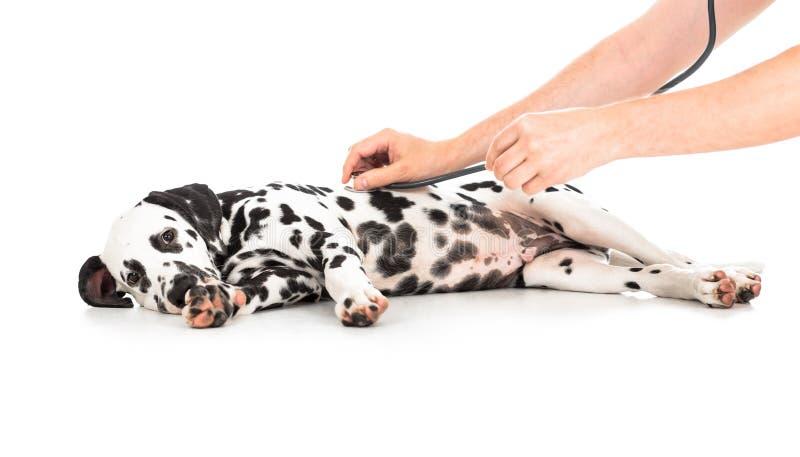 Exame veterinário do cão Dalmatian fotografia de stock