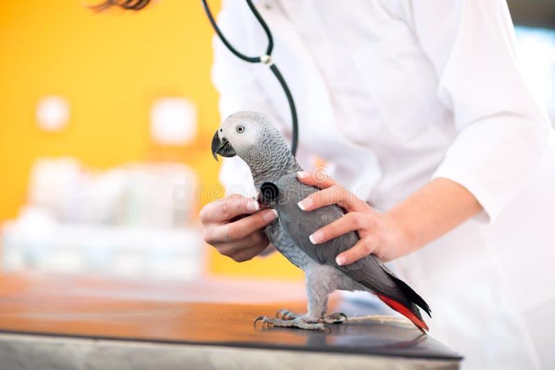 Examen médical de perroquet malade dans la clinique de vétérinaire images libres de droits