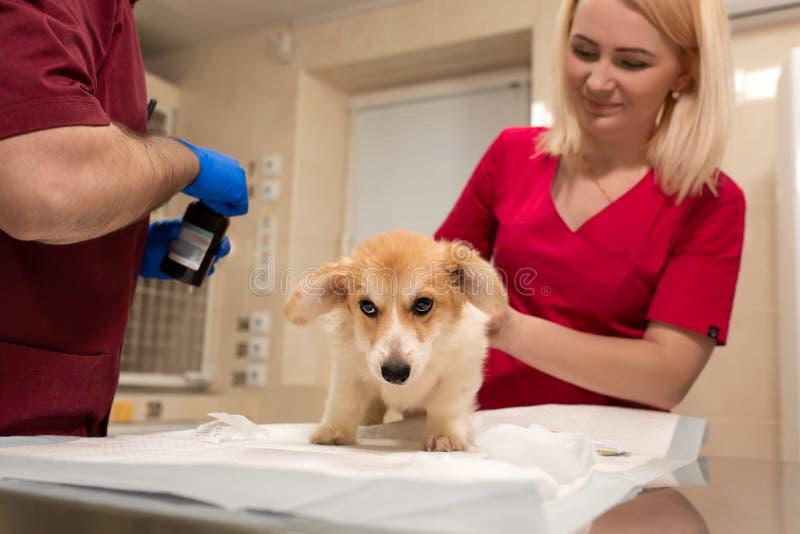 Examen veterinario de los doctores poco perro del corgi en el sitio de la manipulación de la clínica del animal doméstico Atenció imagenes de archivo