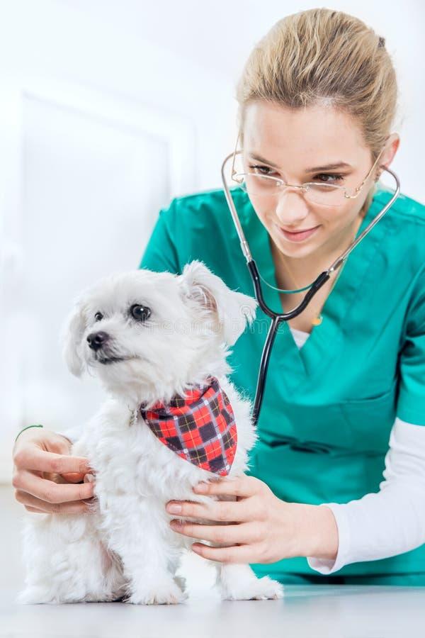 Examinates fêmeas do veterinário um cão usando um estetoscópio fotografia de stock royalty free