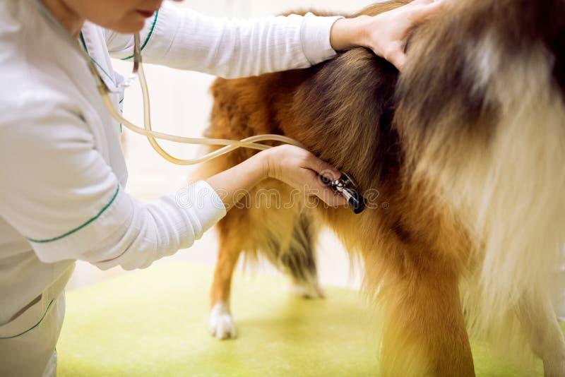 Examining dog at pet clinic close up stock image
