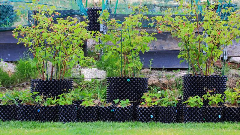 Example how to grow raspberry and strawberry in pots. Beautiful view of garden in plastic pots. royalty free stock photo