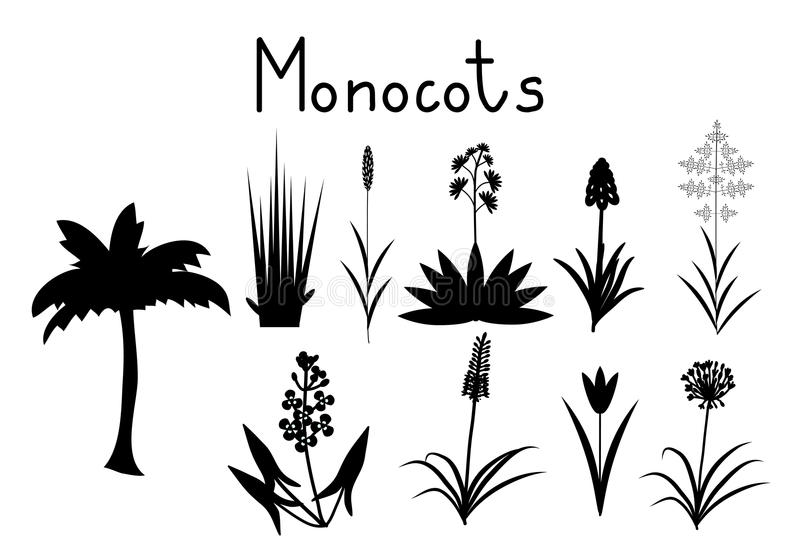 Examples Of Monocots Stock Vector Illustration Of Grape 75576342