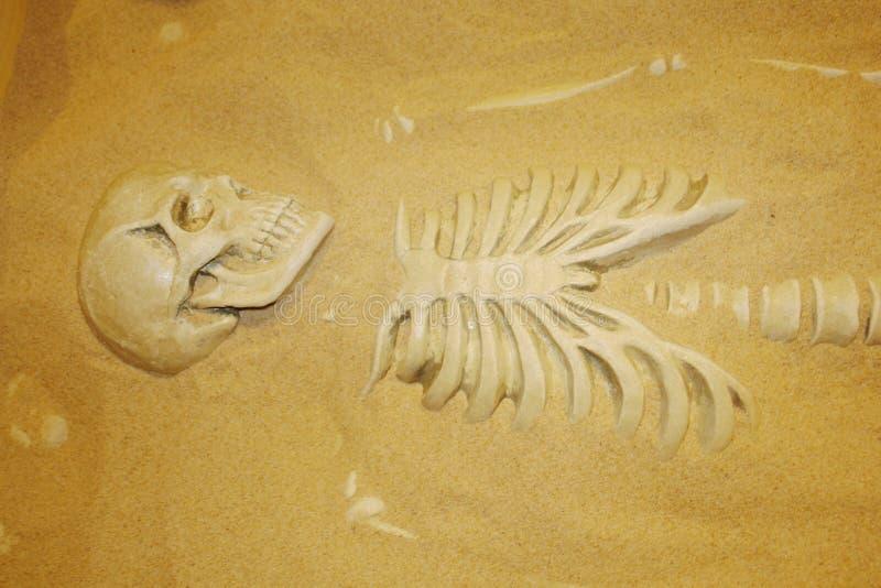 Excavaciones arqueológicas de restos humanos en la arena Esqueleto y cráneo del hombre antiguo Sistemas de vida del museo 'en Mos imagen de archivo libre de regalías