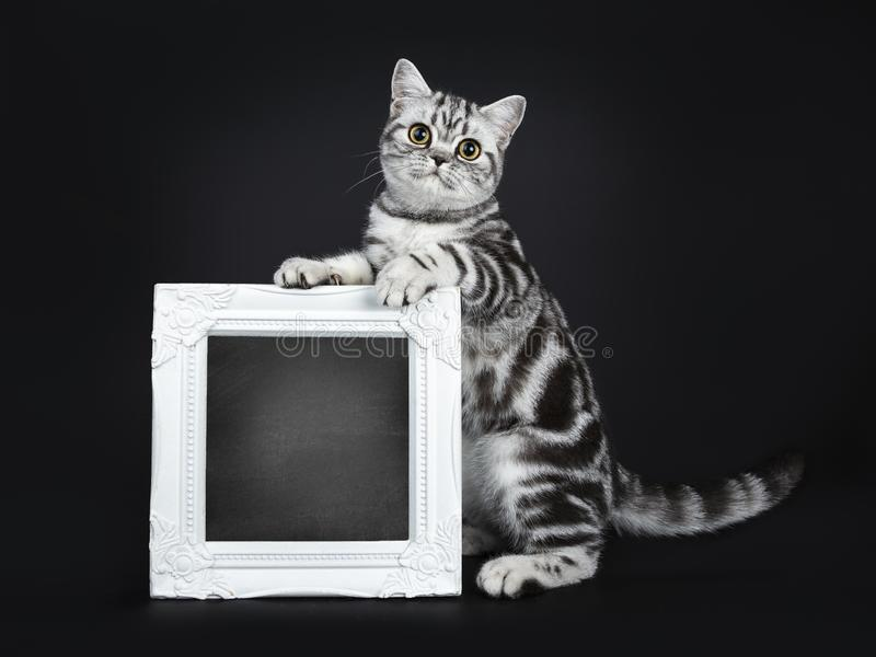 Excellent marked black silver tabby blotched British Shorthair cat kitten,solated on black background royalty free stock photography