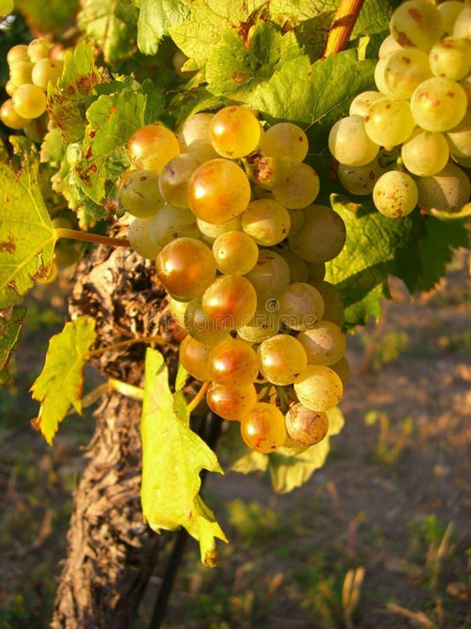 Excellente photo de raisins photographie stock libre de droits