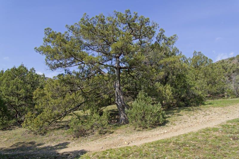 Excelsa grego do juniperus do zimbro foto de stock royalty free