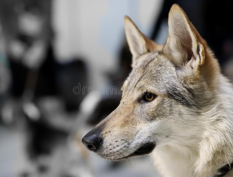 Portrait of a beautiful thoroughbred dog royalty free stock image