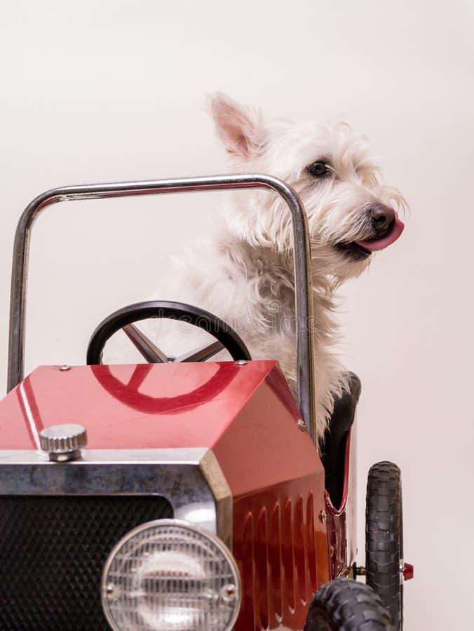 Excitador de domingo - cão que conduz o carro fotografia de stock