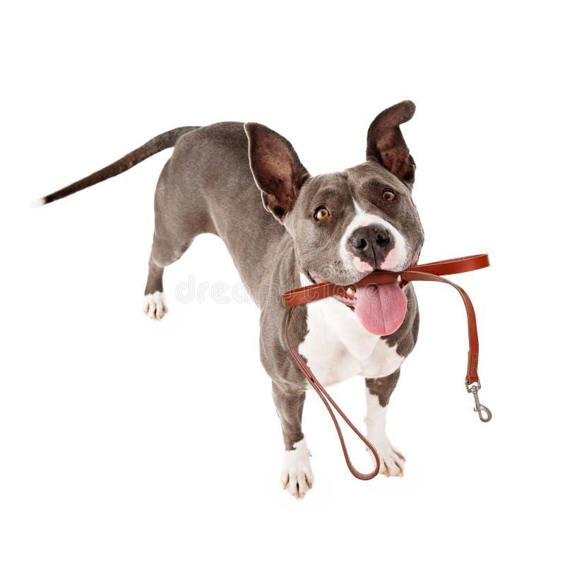 Excited собака с поводком готовым для прогулки стоковые фото