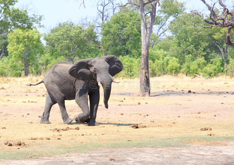 Excited african elephant with ears out stretched and trunk swaying in Hwange National Park stock image