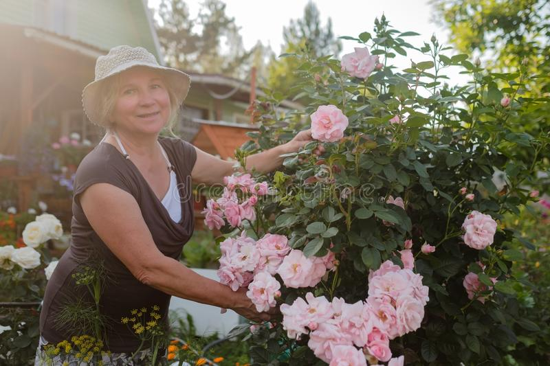 Excited mature caucasian female gardener caring blossoming bush roses in yard royalty free stock photos