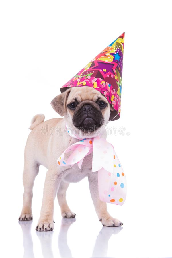 Excited pug with birthday hat and colorful ribbon around neck royalty free stock images