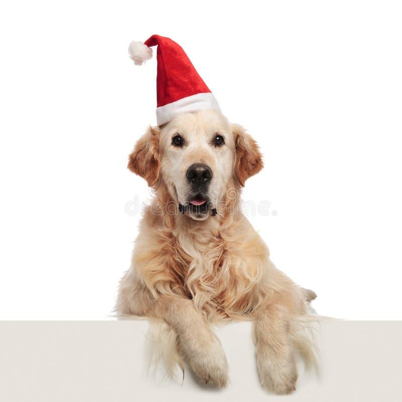 Excited santa labrador задыхается и лежится с висеть ног стоковое фото
