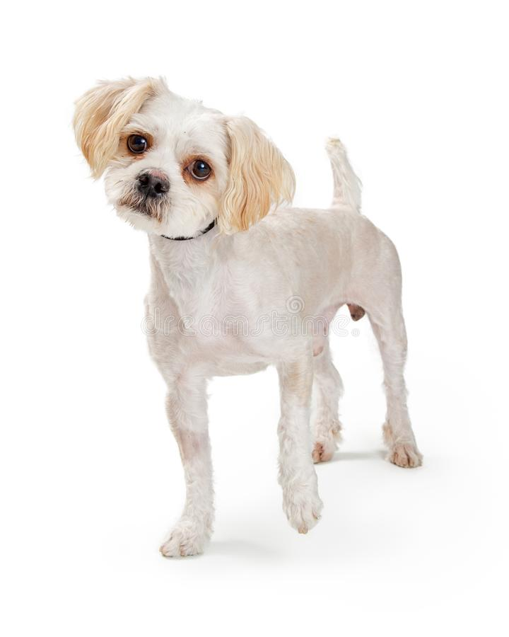 Excited Small White Dog Raising Paw stock photography