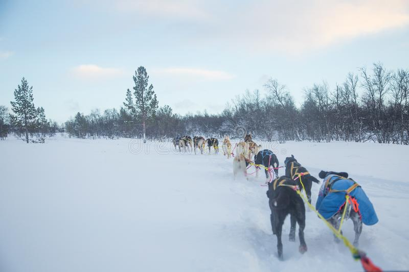 An exciting experience riding a dog sled in the winter landscape. Snowy forest and mountains with a dog team. royalty free stock photos
