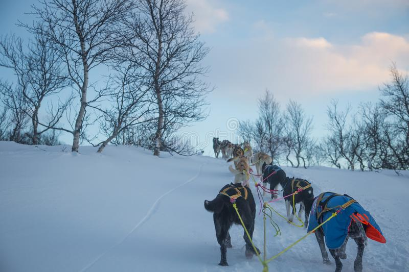 An exciting experience riding a dog sled in the winter landscape. Snowy forest and mountains with a dog team. stock image
