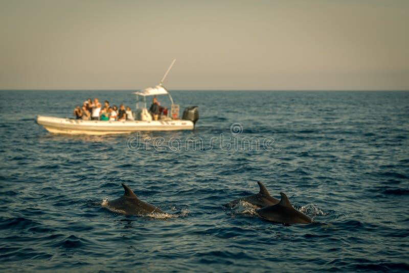 Excursão de observação do barco do golfinho com os golfinhos no primeiro plano imagem de stock