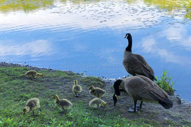 Excursi?n de la familia de los gansos de Canad? cerca del lago swan en el coto de Rockefeller, NY fotos de archivo libres de regalías